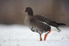 Lesser white-fronted goose, Anser erythropus Royalty Free Stock Photos