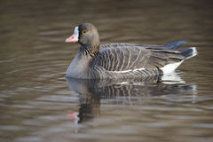 Lesser white-fronted goose, Anser erythropus royalty free stock images