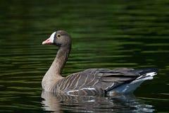 Lesser white-fronted goose (Anser erythropus) stock photo