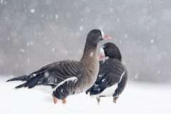 Lesser white-fronted goose, Anser erythropus Stock Images