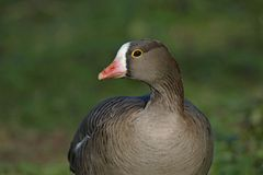 Lesser white fronted Goose. Portrait at Slimbridge Wildfowl and Wetlands Trust stock images