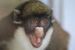 Lesser white-nosed monkey stock photo