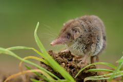 Lesser white-toothed Shrew (Crocidura suaveolens) Stock Image