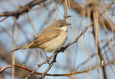 Lesser whitethroat Stock Photography