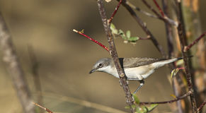 Lesser Whitethroat. Is perching on a tree branch stock image
