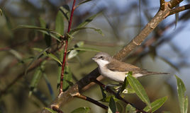 Lesser Whitethroat. Is perching on a tree branch Stock Photos