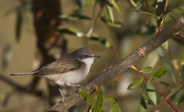 Lesser Whitethroat. Is perching on a tree branch stock photo