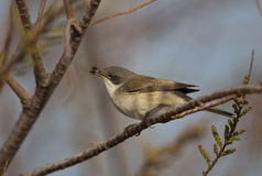 Lesser Whitethroat and Insect. A lesser whitethroat is eating an insect Stock Photos