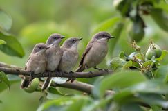 Lesser whitethroat adult and young chicks together royalty free stock photo