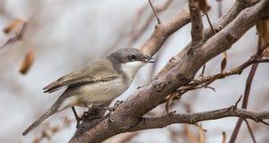 Lesser Whitethroat with Fly in Her Beak Stock Photo