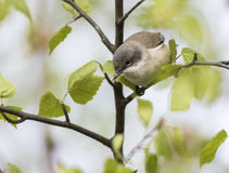 Lesser Whitethroat. Hanging out in a birch Stock Photography
