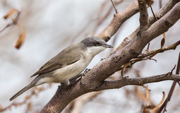 Lesser Whitethroat with Insect in Her Beak Stock Image