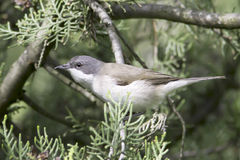 Lesser whitethroat in natural habitat - close up / Sylvia curruca Stock Photography