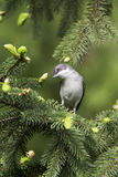 Lesser whitethroat in natural habitat - close up / Sylvia curruca Stock Image
