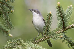 Lesser whitethroat in natural habitat - close up / Sylvia curruca Royalty Free Stock Photography