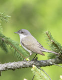 Lesser whitethroat in natural habitat - close up / Sylvia curruca Royalty Free Stock Photos