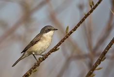 Lesser Whitethroat. A lesser whitethroat is perching on a tree branch and looking around Royalty Free Stock Photography