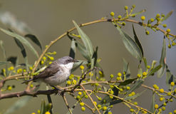 Lesser Whitethroat. A lesser whitethroat is perching on a tree branch and looking around Royalty Free Stock Images