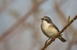 Lesser Whitethroat. A lesser whitethroat is perching on a tree branch and looking around Stock Photos