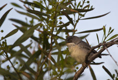Lesser Whitethroat. A lesser whitethroat is perching on a tree and looking around stock photos