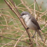 Lesser Whitethroat singing on the branch Royalty Free Stock Photo