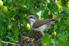Lesser Whitethroat, Sylvia curruca Royalty Free Stock Images