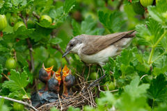 Lesser Whitethroat, Sylvia curruca Royalty Free Stock Photo