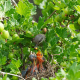 Lesser Whitethroat, Sylvia curruca Royalty Free Stock Photography