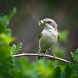 Lesser Whitethroat, Sylvia curruca Stock Image