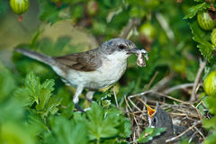 Lesser Whitethroat, Sylvia curruca Stock Images