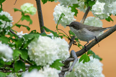 Lesser whitethroat or Sylvia curruca in the nature Stock Photos