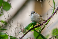 Lesser whitethroat or Sylvia curruca in the nature Royalty Free Stock Photos