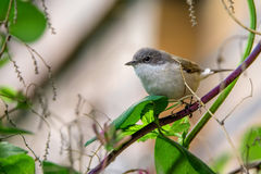 Lesser whitethroat or Sylvia curruca in the nature Stock Photo