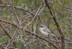 Lesser whitethroat or Sylvia curruca is a very small migratory bird. Lesser whitethroat or Sylvia curruca is a very smal migratory bird. It is insectivorous but royalty free stock images