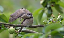 Lesser whitethroats brother and sister in wings exercise royalty free stock image