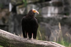 Lesser yellow-headed vulture Stock Photography