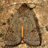 Lesser yellow underwing moth (Noctua comes) Royalty Free Stock Image