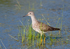 Lesser Yellowlegs Royalty Free Stock Photo