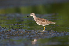 Lesser yellowlegs. (Tringa flavipes), Jamaica Bay Wildlife Refuge, New York Royalty Free Stock Photo