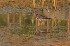 Lesser Yellowlegs bird. Side view of Lesser Yellowlegs bird wading and reflected in shallow water royalty free stock photos