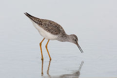 Lesser Yellowlegs Foraging in einem flachen Teich Lizenzfreie Stockfotografie