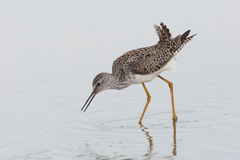 Lesser Yellowlegs Foraging in Shallow Water Royalty Free Stock Image