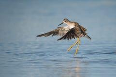 Lesser Yellowlegs na Toronto plaży Obraz Royalty Free