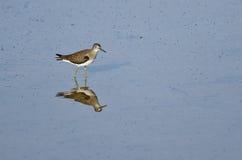 Lesser Yellowlegs Sandpiper Wading en agua azul baja fotos de archivo