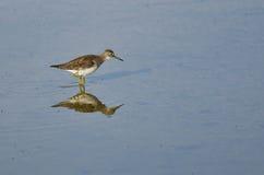 Lesser Yellowlegs Sandpiper Wading in Ondiep Water stock foto's