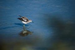 Shorebird Lesser Yellowlegs stock photo