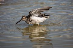 Lesser Yellowlegs taking a bath Royalty Free Stock Photo
