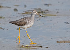 Lesser Yellowlegs (Tringa flavipes) royalty-vrije stock afbeeldingen