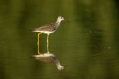 Lesser yellowlegs, Tringa flavipes Stock Photography