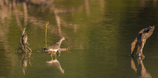 Lesser Yellowlegs walking in a lagoon at dawn Royalty Free Stock Photos